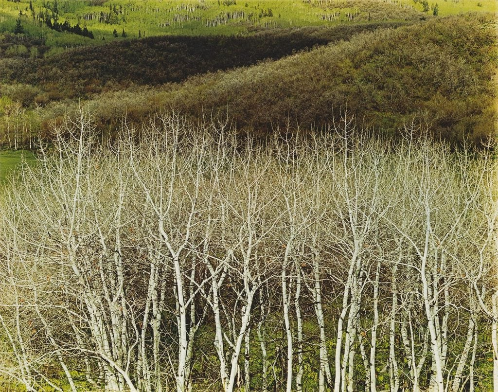 Elliot Porter, White Aspens, Colorado, 1967, Dye transfer print, 8 x 10 3/8 in., Gift from the Textile Arts Foundation (Nancy Hemenway and Robert Barton), 1996.15.11