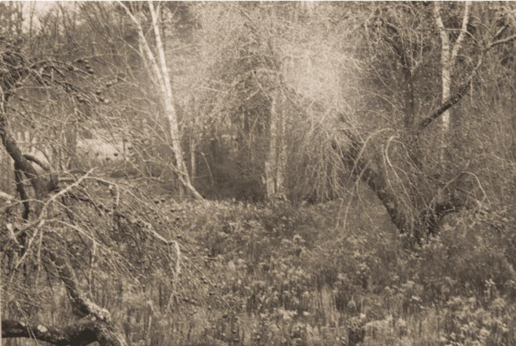 Paul Caponigro, Apple Orchard, Cushing, Maine, 1992, Silver gelatin print, Museum Purchase, 1998